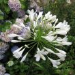 Agapanthus Evergreen