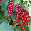 Currant Bush  (All types)