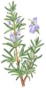 Rosemary Herb (Seed)