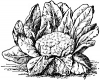 Cauliflower (Seed)
