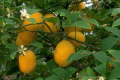 Citrus Bushes