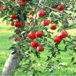 Apples - all varieties
