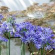 Special Mailorder Agapanthus
