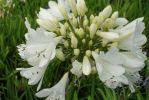 Arctic Star , Agapanthus Evergreen