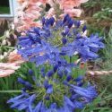 Taw Valley , Agapanthus Deciduous