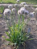 Chives Plant , Siberian Chives (Allium Nutans)