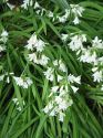 Allium (Edible) , Allium Triquetrum '3 cornered Leek'