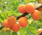Apricot , Golden Glow - 1 year bush