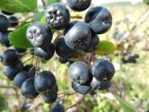Aronia, x prunifolia Viking (Purple Chokeberry)