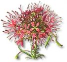 Flowers , Cleome 'Rose Queen' (Spider Flower)