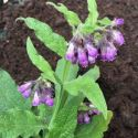 Comfrey, Russian Bocking 14
