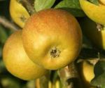 Apple , Court of Wick - 1790