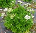 Lovage - Herb , Scotch or Sea Lovage