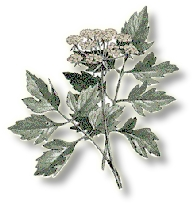 Lovage , Old English Sweet Herb