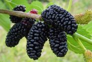 Mulberry , Agrate