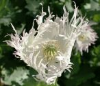 Flowers , Poppy - Jimi's Ragged White Snowflake