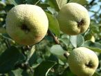 Quince, Leskovac (Serbian Gold) - 2 year bush