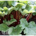 Rhubarb Crown, Holstein Bloodred