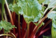 Rhubarb Crown , Stockbridge Arrow