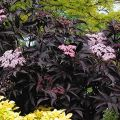Elder, Sambucus nigra 'Black Beauty' (1 ltr pot)