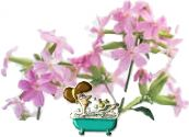 Flowers , Soapwort - Herb / Wild Flower