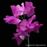 Flowers, Sweet Pea , Spencer 'Eclipse' - Fragrant