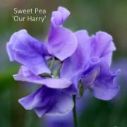 Flowers, Sweet Pea , 'Our Harry' Spencer - Fragrant