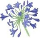 Agapanthus, Collection of 12 Flowering Size Plants