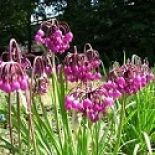 Allium (Edible), Allium cernuum 'Purple King' (Nodding Onion)