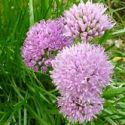 Allium (Edible), Allium senescens (German Garlic)
