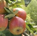 Apple, Camelot - 2 year bush (BARE-ROOT)