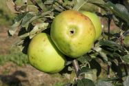 Apple, Warner's King - Maiden
