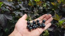 Currants, Blackcurrant 'Black 'n Red'