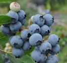 Blueberry, Jorma - Patio bush