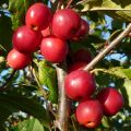 Crab Apple, Red Sentinel