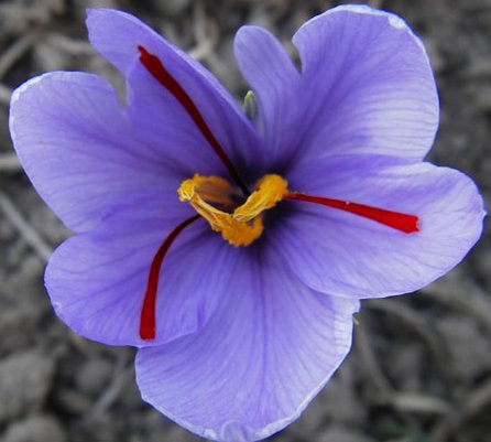 Saffron Crocus Bulbs , Crocus sativus - Herb