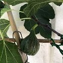 Fig, 'Pennard Heritage', Fan-trained