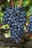 Grape Vine, Autumn Royal Seedless