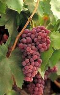 Grape Vine, Crimson Seedless