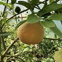 Citrus, Grapefruit (Medium bush)