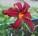 Hemerocallis, Crimson Pirate