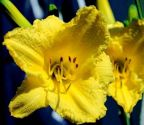 Hemerocallis, Happy Returns