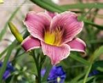 Hemerocallis, Little Missy