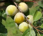 Plum , Gage - Old English Greengage