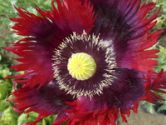 Flowers , Poppy - Jimi's Ragged Red Flag