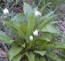 Allium (Edible Garlic) , Allium ursinum - Ramsons Wild