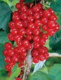 Currants, Redcurrant Laxton's No 1