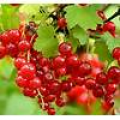 Currants, Redcurrant Red Lake