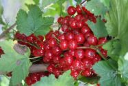 Currants, Redcurrant 'Babette'