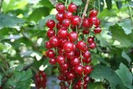 Currants, Redcurrant 'Lisette'